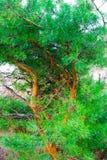 Красивые изогнутые ветви крупного плана сосны стоковое изображение