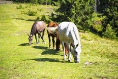 Красивые дикие лошади пася на зеленом холме, красивой сцене Стоковая Фотография RF