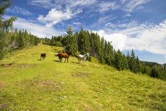 Красивые дикие лошади пася на зеленом холме, красивой сцене Стоковые Изображения