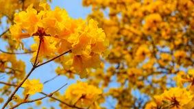Красивые индийские лилии Стоковые Фотографии RF