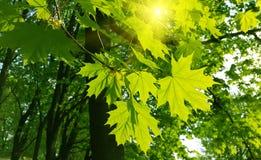 Красивые листья весны дерева клена и солнечного света Стоковая Фотография