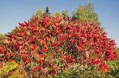 Красивые листья Stahhorn Sumac осени (typhina Rhus) стоковые изображения