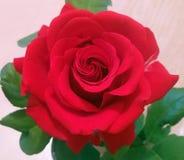 Красивые лист зеленого цвета красной розы Стоковая Фотография