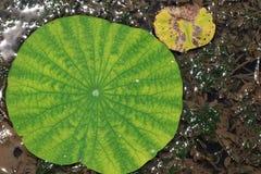 Красивые лист лотоса Стоковые Изображения RF