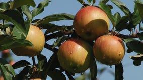 Красивые и зрелые яблоки сад вечера яблока вал акции видеоматериалы
