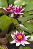 Красивые лилии воды Стоковые Изображения RF