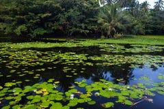 Красивые лилии воды стоковое изображение