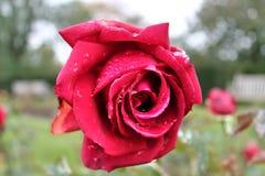 Красивые и красочные розы цветут в конце вверх по взгляду стоковое фото rf