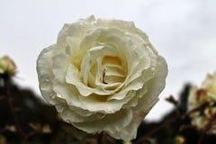 Красивые и красочные розы цветут в конце вверх по взгляду стоковая фотография rf