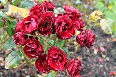 Красивые и красочные розы цветут в конце вверх по взгляду стоковые изображения rf
