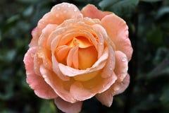 Красивые и красочные розы цветут в конце вверх по взгляду стоковое изображение
