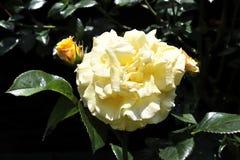 Красивые и красочные розы цветут в конце вверх по взгляду стоковые фото