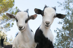 Красивые козы карлика младенца Стоковые Фото