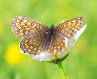 Красивые коричневые оранжевые butterflys Стоковые Изображения