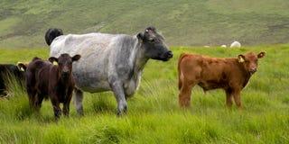 Красивые коровы в английском горном склоне стоковое фото rf