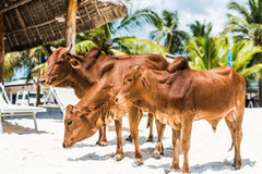 Красивые коровы коричневого цвета на африканском пляже, Занзибаре Стоковые Изображения