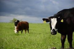 Красивые коровы на зеленом поле Стоковая Фотография