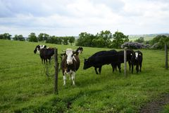 Красивые коровы на зеленом поле Стоковые Изображения RF