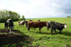 Красивые коровы на зеленом поле Стоковая Фотография RF
