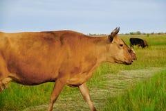 Красивые коровы пася на зеленом луге Стоковые Изображения