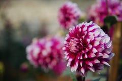 Красивые красные зацветая цветки в саде стоковая фотография rf