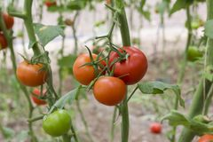Красивые красные зрелые томаты heirloom, который выросли в парнике Садовничая фотоснимок томата с космосом экземпляра поле глубин Стоковые Фотографии RF