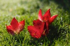 Красивые красные листья осени/падения Стоковые Фото