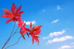 Красивые красные листья осени Стоковые Изображения