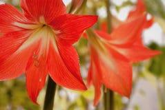 Красивые красные лилии на предпосылке зеленых растений с красивыми самыми интересными Стоковое Фото