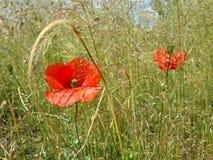 Красивые красные маки среди травы лета Стоковые Фото