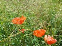 Красивые красные маки среди травы лета Стоковые Изображения