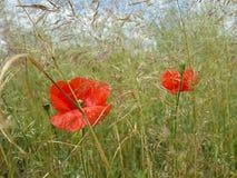 Красивые красные маки среди травы лета Стоковые Изображения RF
