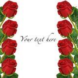 Красивые красные розы на белой предпосылке, с космосом для текста, можно использовать для карточки, приглашения Стоковое Изображение RF