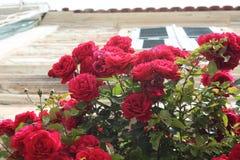 Красивые красные розы цветут стоковая фотография