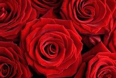 Красивые красные розы Стоковое Изображение