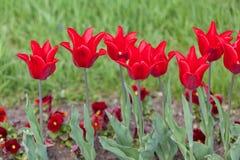 Красивые красные тюльпаны в парке против детенышей весны цветка принципиальной схемы предпосылки белых желтых Стоковые Фотографии RF