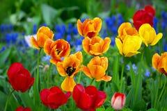 Красивые красные тюльпаны и желтый цвет Стоковая Фотография RF
