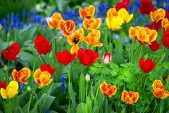 Красивые красные тюльпаны и желтый цвет Стоковые Фотографии RF