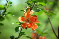 Красивые красные цветки айва, ферз-яблоко, айва яблока на зеленой предпосылке на солнечный день Полезное орнаментальное фруктовое стоковое фото rf