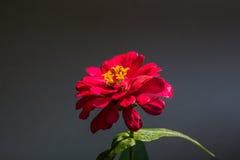 Красивые красные цветки в Surat Thani Таиланде Стоковое Изображение