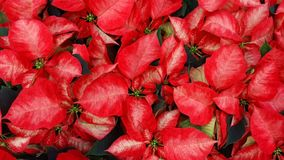 Красивые красные цветки pulcherrima молочая стоковое фото rf