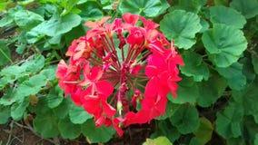 Красивые красные цветок и зеленые растения, малый сад в Бразилии Стоковая Фотография RF