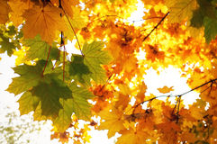 Красивые красочные кленовые листы осени Стоковое фото RF