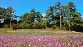Красивые красочные лилии Calla со славным цветом предпосылки акции видеоматериалы