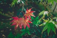 Красивые красочные листья осени в Японии Стоковое фото RF