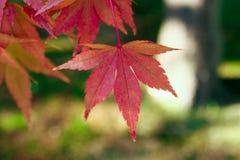 Красивые красочные листья осени в Японии Стоковая Фотография RF