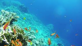 Красивые красочные тропические красные рыбы на живых коралловых рифах подводных в Красном Море акции видеоматериалы