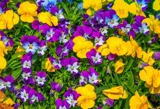 Красивые красочные цветки весны пурпурного, белого и желтого альта tricolor стоковое фото rf