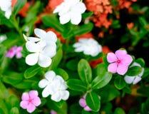 Красивые красочные цветки в саде Стоковая Фотография