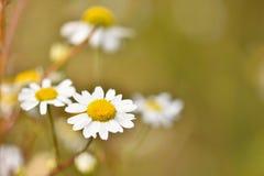 Красивые красочные цветки маргариток Предпосылка на природа и лето стоковая фотография